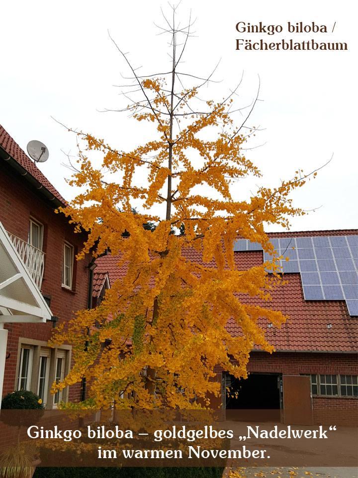 Ginkgo biloba / Ginkobaum / Fächerblattbaum