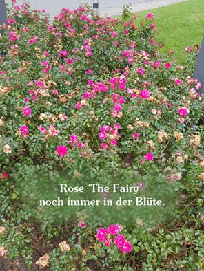 Rosa 'The Fairy' / Bodendeckerrose 'The Fairy