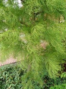 Taxodium distichum 'Nutans' / nickende Sumpfzypresse / aufsteigende Sumpfzypresse