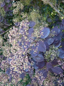 Cotinus coggygria 'Royal Purple' / Roter Perückenstrauch