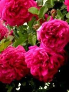 Rosa 'Laguna ®' / Kletterrose 'Laguna'