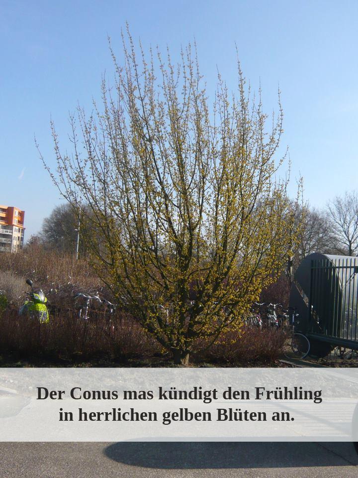 Cornus mas / Kornelkirsche / Herlitze / Dirlitze