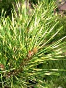 Pinus densiflora 'Oculus Draconis' / Japanische Drachenaugen-Kiefer 'Oculus Draconis'