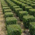 Immergrüne Pflanzen - wie hier der Buchsbaum - müssen auch im Winter gewässert werden