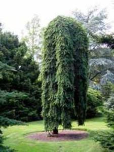 Picea abies 'Inversa' / Hänge-Fichte 'Inversa'