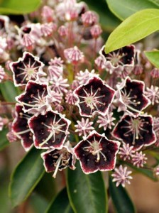 Kalmia latifolia 'Mitternacht' Lorbeerrose 'Mitternacht' Berglorbeer 'Mitternacht'