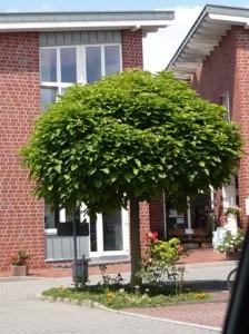 Kugel-Trompetenbaum Catalpa bignonioides 'Nana'