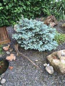 Picea pungens 'Procumbens' Zwerg Blau-Fichte