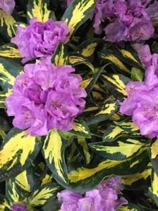 Rhododendron 'Blattgold'