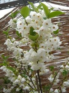 Halesia carolina / Schneeglöckchenbaum