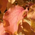 Die meisten Sorten des Roten Hartriegel - hier der Cornus sanguinea 'Winter Beauty' - haben eine tolle Herbst- & Winterfärbung