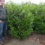 Prunus Herbergii / Kirschlorbeer Herbergii bietet als Hecke einen guten Windschutz