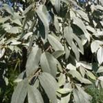 Elaeagnus angustifolia 'Quicksilver' / Silberne Russische Olive - tolles, sommergrünes Ziergehölz