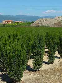 Immergrüne Heckenpflanzen - wie hier die Taxus Media Hilii - sollte man von der Schneelast befreien