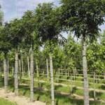 Fraxinus excelsior 'Nana' / Kugel-Esche - schöner Hausbaum für den Vorgarten