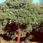 Quercus suber / Kork-Eiche / Pantoffelbaum