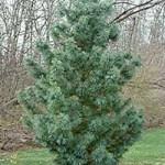 Pinus koraiensis 'Glauca' / Blaue Korea-Kiefer - auch für trockene Standorte geeignet