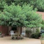 Morus alba 'platanifolia' / Platanenblättriger Maulbeerbaum - für einen halbschattigen Standort gut geeignet
