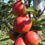 Obstgehölze - wie hier der Malus domestica 'Braeburn' / Apfel 'Braeburn'  - sollten jetzt zurückgeschnitten werden