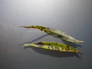 Blatt einer Weide / Salix mit Pilzbefall