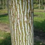 Der Acer capillipes / Rotstieliger Schlangenhaut-Ahorn  - hier die außergöhnliche Rinde - gehört zu den Flachwurzlern
