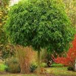 Liquidambar styraciflua 'Gum Ball' / Zwerg-Kugelamberbaum  - die Krone wird ca. 3m breit