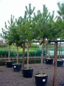 Pinus nigra ssp. nigra 'Hochstamm' / Österreichische Schwarz-Kiefer - eine tolle Kübelpflanze für die Dachterrasse