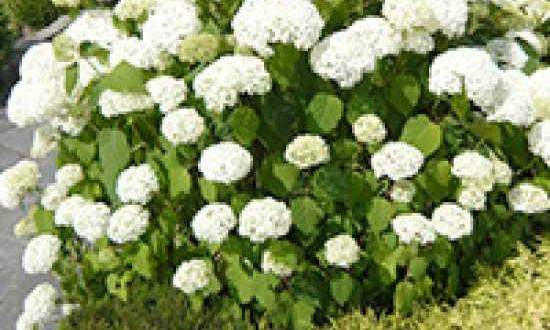 6081_0_hydrangea-arborescens-grandiflora