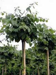 Tilia cordata 'Green Globe' / Kugel-Winter-Linde - ein schöner Hausbaum