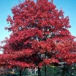 Quercus coccinea / Scharlach-Eiche - gut geeignet für eine Baumreihe