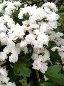 Der Weißdorn gehört zu den wichtigsten Trachtpflanzen