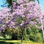 Paulownia tomentosa / Blauglockenbaum / Paulownie - ein anspruchloser Laubbaum mit tollen Blüten