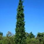 Quercus robur 'Fastigiata Koster' / Säulen-Eiche