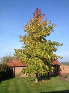 Liquidambar styraciflua / Amerikanischer Amberbaum