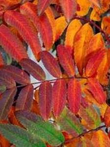 Sorbus aucuparia 'Wettra' / Eberesche Wettra