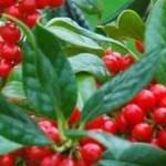 Beeren des Ilex aquifolium 'J. C. van Tol'