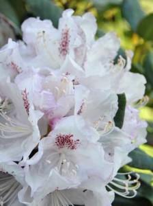 Neue Blätter von Rhododendren haben braune Ränder – Ursachen und Gegenmaßnahmen