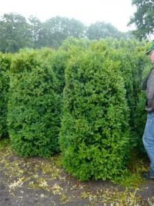 Rückschnitt von Buchsbaum - Buxus