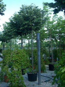 Tilia cordata 'Green Globe' / Kugel-Winter-Linde
