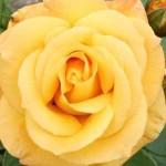 Rosa 'Arthur Bell ®' / Beetrose 'Arthur Bell'