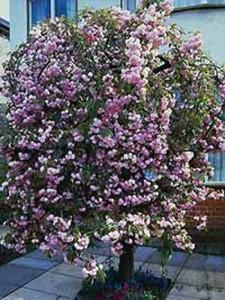 Prunus serrulata 'Kiku-Shidare' / Hängende Nelken-Kirsche