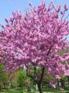 Kann man einen jungen Cercis / Judasbaum schon zurückschneiden, damit der stabiler wird?
