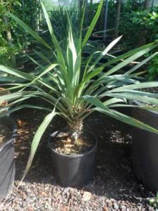 Yucca gloriosa / Kerzen-Palmlilie / Spanischer Dolch