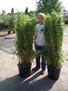 Neuer Ratgeber zur Pflege und Rückschnitt vom Bambus Fargesia