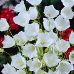 Wird die Weiße Karpaten-Glockenblume von Nacktschnecken gefressen?