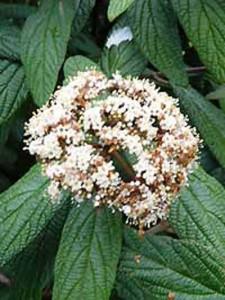 Viburnum rhytidophyllum / Runzelblättriger Schneeball / Immergrüner Großblatt-Schneeball