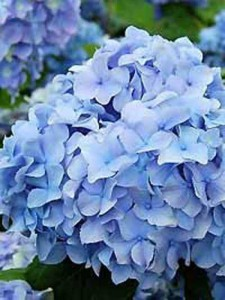 Kann man die Blütenfarbe von Hortensien durch den pH-Wert des Bodens beeinflussen?