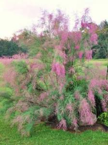 Welche Tamariske kann als Kübelpflanze genutzt werden und ist winterhart?
