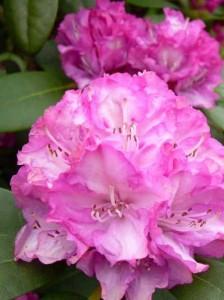 Rhododendron yakushimanum 'Blurettia'