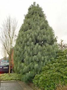 Pinus wallichiana / Tränen-Kiefer
